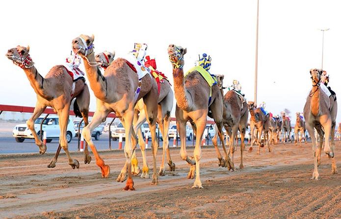 Al Marmoon Heritage Festival Camel Race